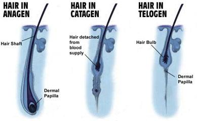 fazy życia włosa
